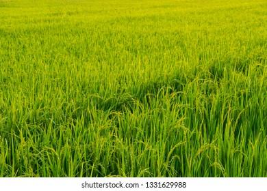 Rice Field .