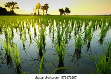Rice  field.