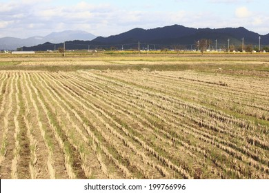 Rice Field After The Harvest
