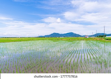 Rice field after rice planting in Japan