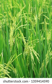 Rice field for background