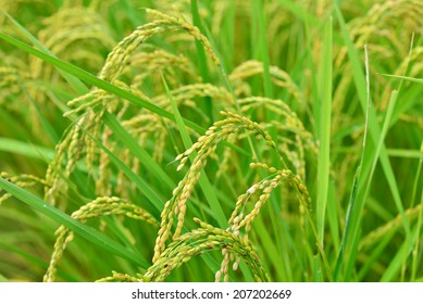 rice field rice background