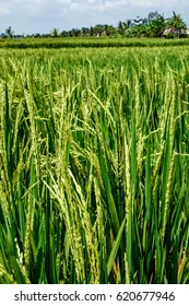 Rice Field - Bali