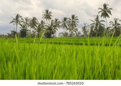 Rice Field, Bali