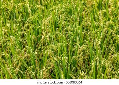 Rice field, Bali Island, Indonesia