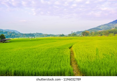 Rice field and beautiful sky panorama.