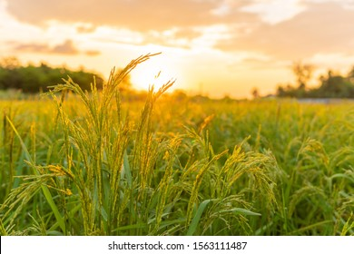 rice field in Beautiful sunrise