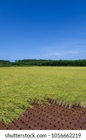 rice field and blue sky in Japan