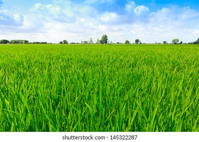 rice field blue sky summer in thailand,background