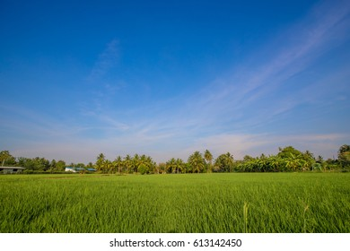 rice field with blue sky,thailand