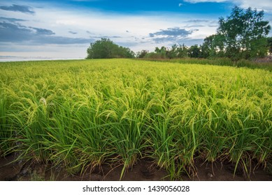 Rice field with bright blue sky