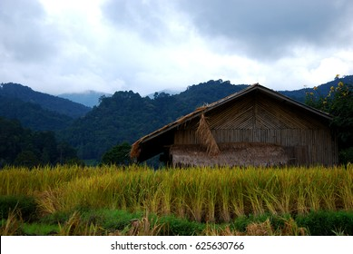 Rice field in Chiang Mai Thailand.