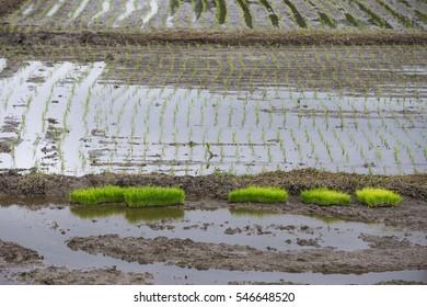 Rice field, Chiang rai Thailand
