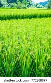 Rice field in Chiangmai city, Thailand.