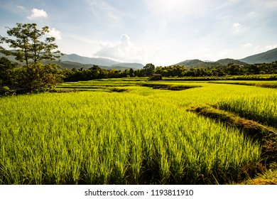 Rice field in Chiangmai province, Thailand.
