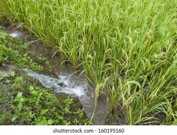 Rice Field in Chiangmai, Thailand