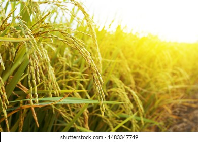Rice field, close up yellow rice seed ripe and green leaves at north Thailand.