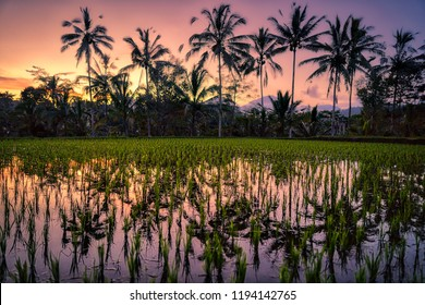 Rice field  coconuts trees reflection water Bali, Indonesia