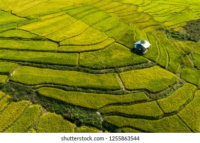 Rice field is color green andyellow in Thailand.For the harvest season.