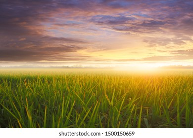 Rice field and a colorful sunset in nature background,Ear of golden rice,