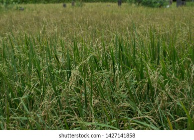 Rice field with cottage for rest