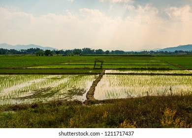 Rice field in the country, Thailand.