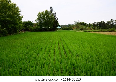 Rice field in countryside