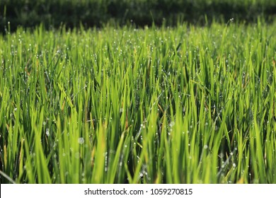 rice field with dew at curug cilember, salak mountain, west java indonesia, natural tone