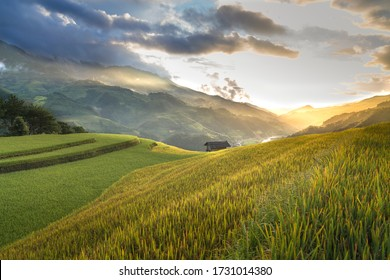 Rice field during golden house