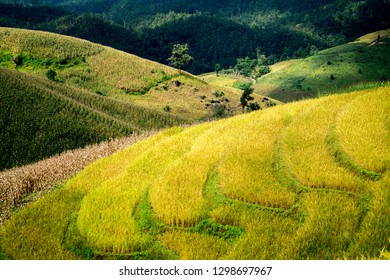 Rice field during sunset, Beautiful natural landscape in the summer time