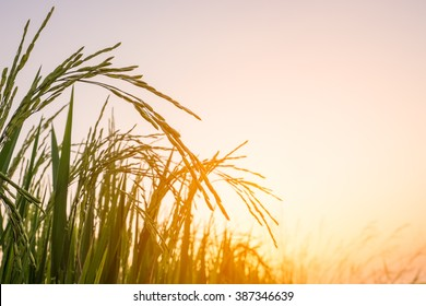 Rice field in the evening.