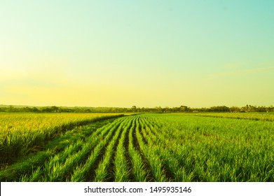 Rice field farm with a blue sky and evening day light in Indonesia
