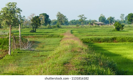 Rice field in the farm of famer, the lifestyle of the farmer,Thailand.