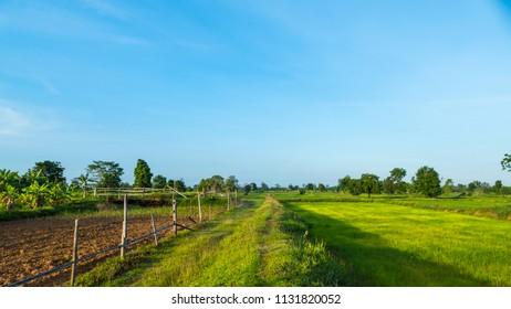 Rice field in farm of famer,Thailand.