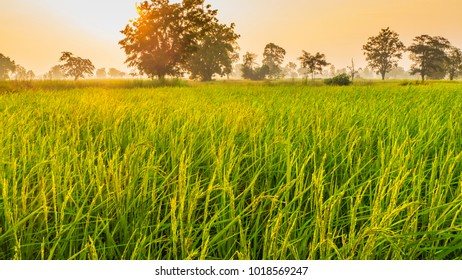Rice Field of Farmer and sunlight in nature the morning,in Thailand