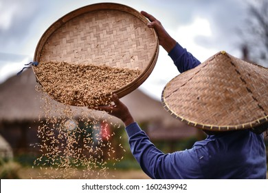 Rice from the field in farmer's hands, concept food for health, world food day. Food and Agriculture. Harvest season. Rice market. Rice stock. Agricultural trade.