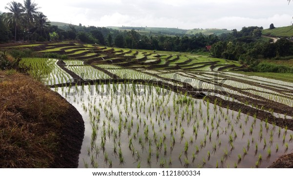Rice field in farming on the hill Thailand
