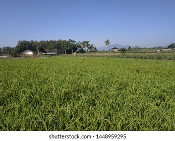 rice field green color blue sky