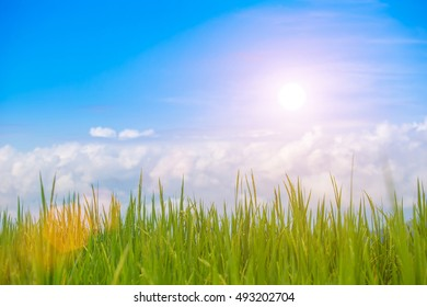 Rice field green grass blue sky cloud. cloudy wiht sun background