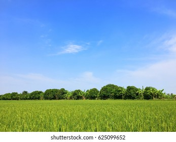 Rice field green grass and  blue sky
