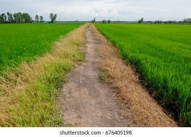 Rice field green grass blue sky cloud cloudy landscape background. Rice field green in Thailand.