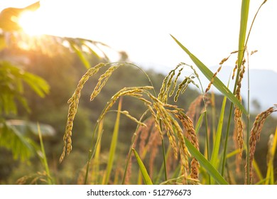 Rice field, harvest time