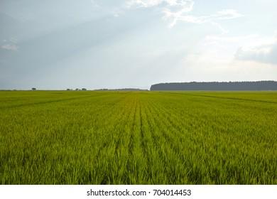 Rice field in Inawashiro, Fukushima, Japan