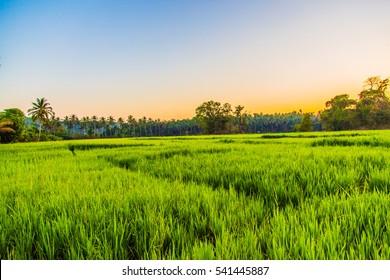 Rice field, India