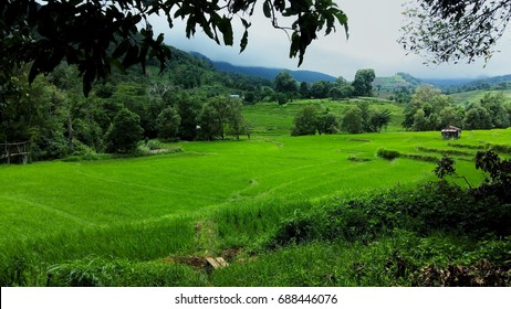 rice field in Khun Pae, chomthong district, chiangmai