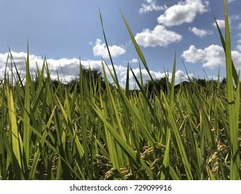 Rice field of Korea