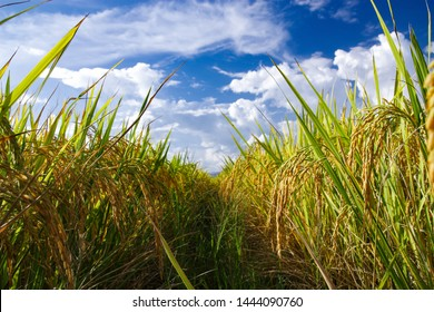 Rice field landscape with blue sky and cloud