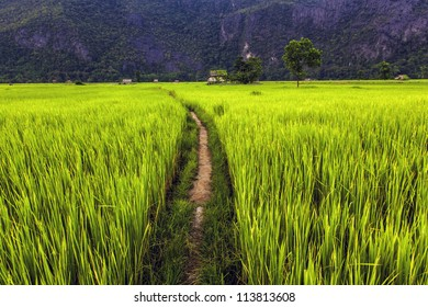 Rice field in Laos