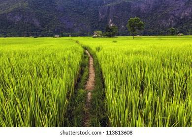 Rice field in Laos