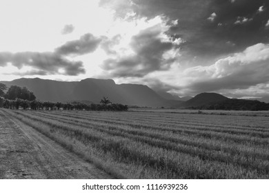 Rice field in the late afternoon, at the Rice Highway in Joinville, Santa Catarina - Brazil